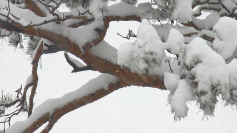 snow-covered pine tree Footage