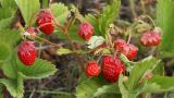 Strawberry HD stock footage