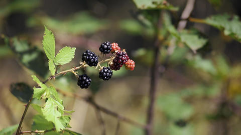 Blackberries In The Garden stock footage