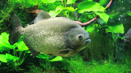 The Red-bellied Piranha Or Red Piranha stock footage