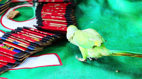 Shot of fortune telling by parrot Footage