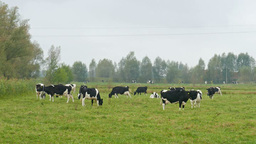 Dairy cows on a pasture in a misty day Footage
