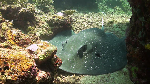 Whiptail Stingray Footage