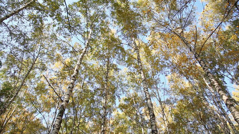 Autumn Birchwood In A Sunny Day, The Bottom View,  stock footage