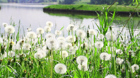 Dandelions On The Riverbank Of Moscow Park In Sunn stock footage