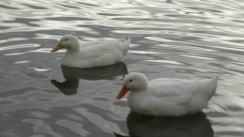 Two White Ducks Swimming stock footage