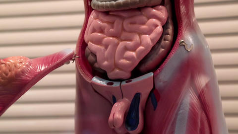 Model Of Human Internal Organs stock footage