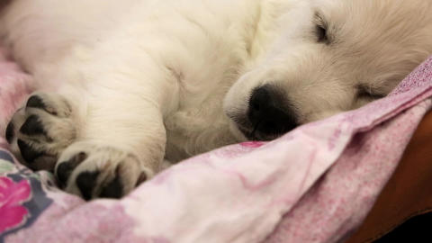 White little dog sleeping Footage