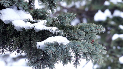 Fur-Tree Branch With Snow stock footage