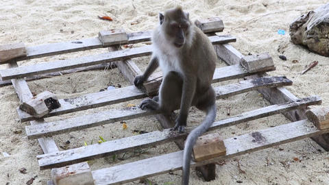 Monkey Sit On Sand stock footage