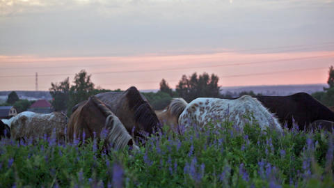 Herd Of Horses Is Grazed In The Field At Sunrise stock footage