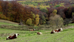 Cows Rest On Pasture stock footage
