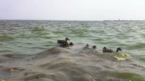Ducks Swim In The Dirty Water stock footage