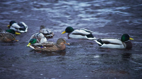 Flock of ducks hunting in forest river Footage
