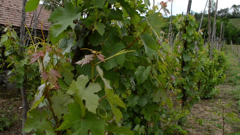 Traditional Cultivation Of Vine Grapes stock footage