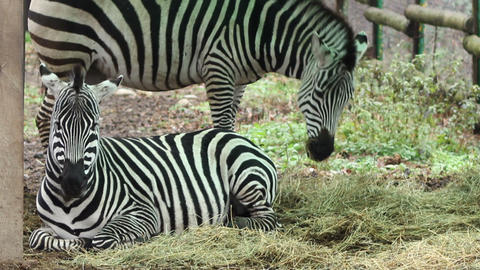 Zebras Grazing stock footage