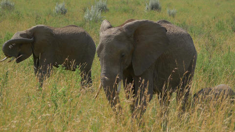 Elephant Family In African Safari stock footage