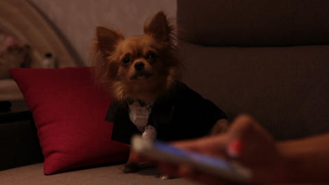 a dog in a wedding suit and hands with cell phone Footage