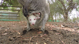 Close-up Of A Joey In The Pouch Of A Kangaroo stock footage