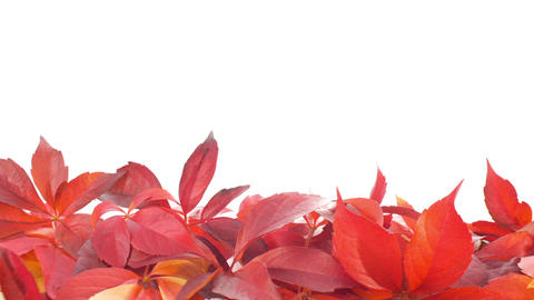 Red Autumn Leaves stock footage