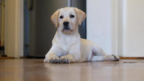 Labrador Puppy Footage