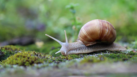 Snail crawling over moss Footage