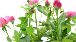 Tracking Bunch Of Pink Small Rose stock footage