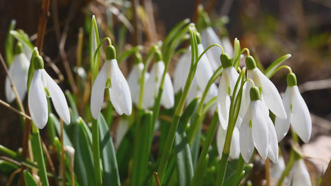 Snowdrop Bunch stock footage