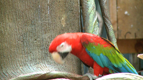 red macaw 2 Footage