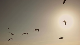 Seagulls And Birds Flying In Sky At Sunset In Super Slow Motion Footage