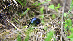 Blue Insect 02 - Meloe Impressus stock footage