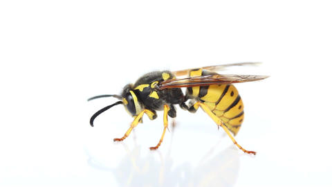 Wasp stock footage