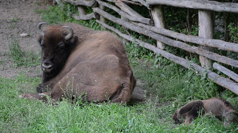 Buffalo with cubs in playpen 01 Footage