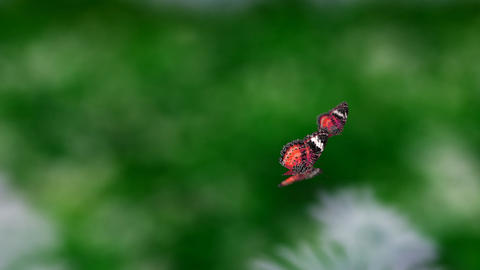 red couple butterfly Animation