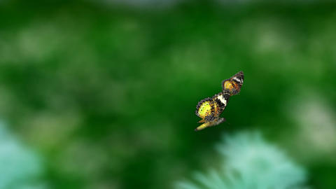 yellow couple butterfly Animation