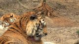 Group Of Tigers At Rest stock footage