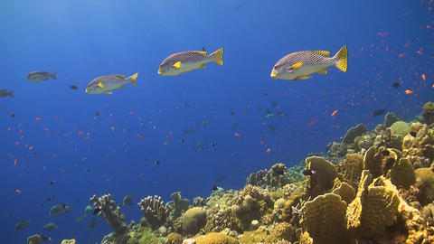Oriental Sweetlips On A Coral Reef stock footage