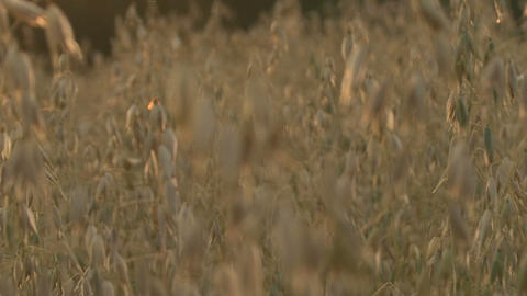 Field Crops, Glowing Spikes, Sharpness Changes stock footage