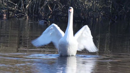Swan Dance stock footage