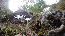 Crocus Bloom In The Mountains Of Central Brand In Autumn stock footage