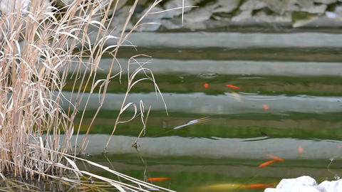 Garden pond with Carp koi Footage