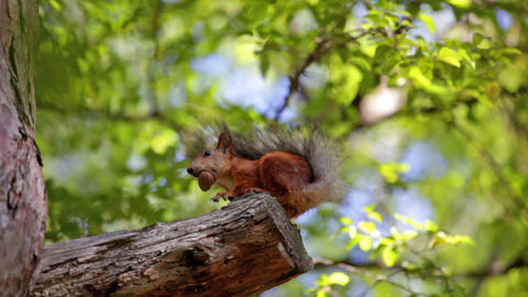 Fluffy Red Squirrel Sits On A Tree And Gnaws A Nut stock footage