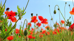 Red Flowers on a Poppy Field Footage