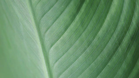 Leaf Texture Closeup stock footage