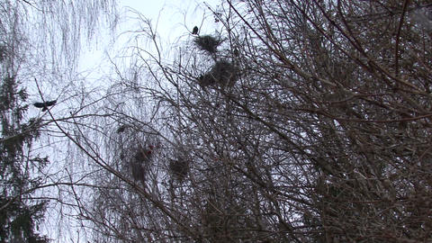 Flock Of Crows Flying Around Nests Footage