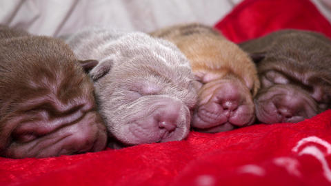 Newborn Shar Pei Dog Pups Resting Footage