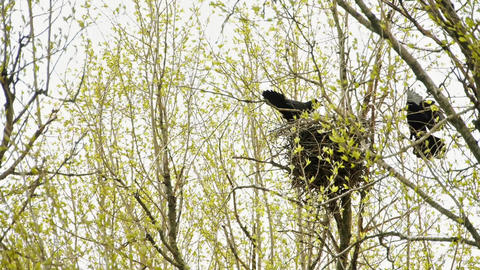 Two Ravens In The Nest On A Tree stock footage