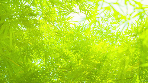 Bamboo Leaves In Soft. Delicate Lighting stock footage