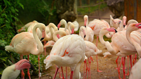 FullHD video - Flock of Pink Flamingos Preening for the Camera Footage