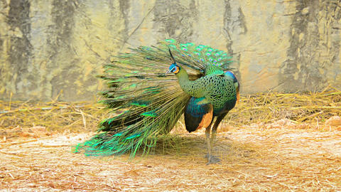 Mature peacock preening at Chiang Mai Zoo in Thailand Footage